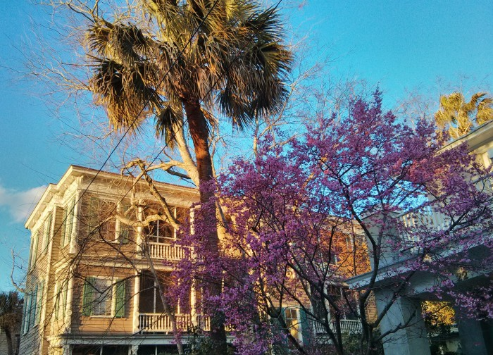 An Eastern Redbud blossoming in the winter in Charleston, SC