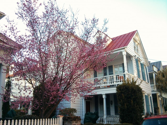 An Eastern Redbud shares the beauty of its blossoms in Charleston, SC