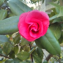 The camellias are in full bloom in Charleston, SC. This is a magnificent one.
