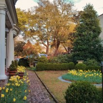 A beautiful Charleston garden in early spring. Daffodils in bloom!