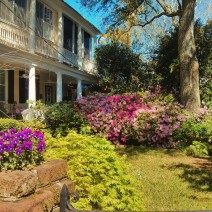 The azaleas are bursting into bloom all over Charleston, SC.