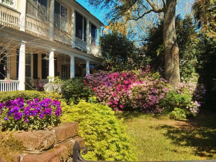 The azaleas are bursting into bloom all over Charleston, SC.