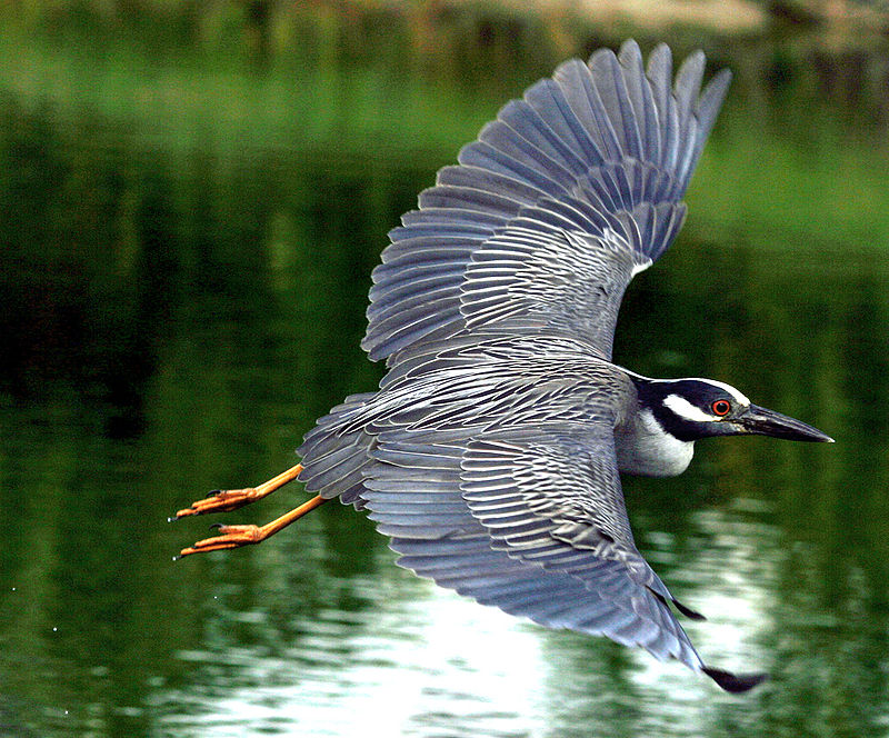 800px-Nycticorax_violaceus_-flying-8