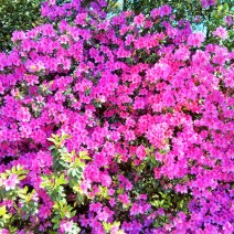 Charleston is awash in blooms of azaleas.