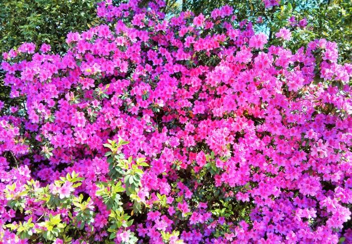 Charleston is awash in blooms of azaleas.