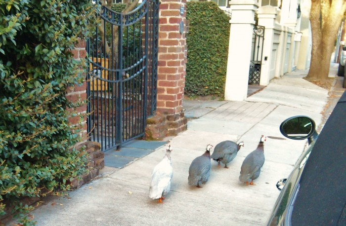 Charleston is full of amazing wildlife -- from eagles to foxes. One of the more unusual sighting in downtown Charleston is the flock of guinea fowl that just appeared one day.