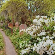 Azaleas brighten up the Unitarian Church's graveyard in Charleston, SC.