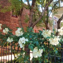 Surrounded by historic homes and beautiful ironwork, the flowers of Charleston, SC are stunning.