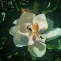 A spectacular Magnolia blossom in Charleston, SC.
