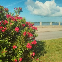 All along the Battery in Charleston, SC, oleanders are in bloom. More beauty on top of beauty.
