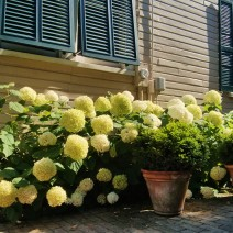 It's been a wonderful year for hydrangeas in Charleston... where you can find them in many shades of color.