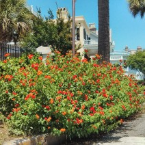 This Lantana, at the corner of King Street and South Battery in Charleston, SC, is eye-catching even when surrounded by spectacular historic houses.