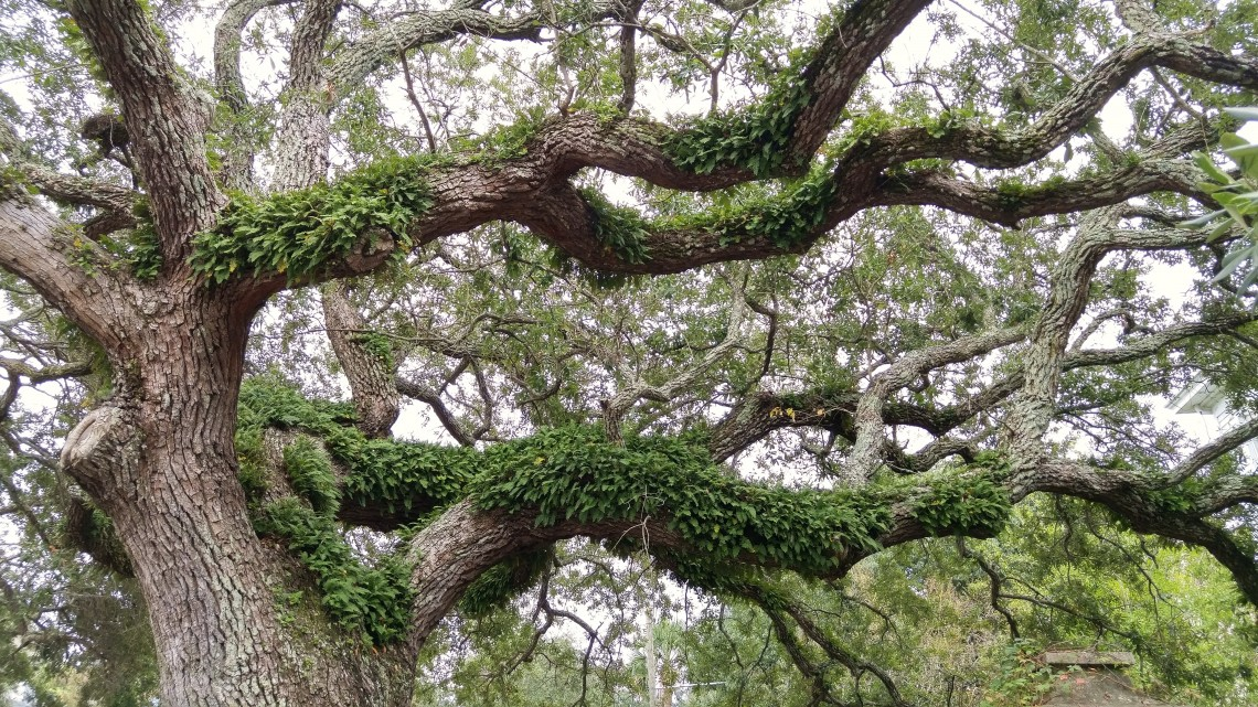 One of the enduring images of the Lowcountry of SC are the spectacular Live Oak trees.