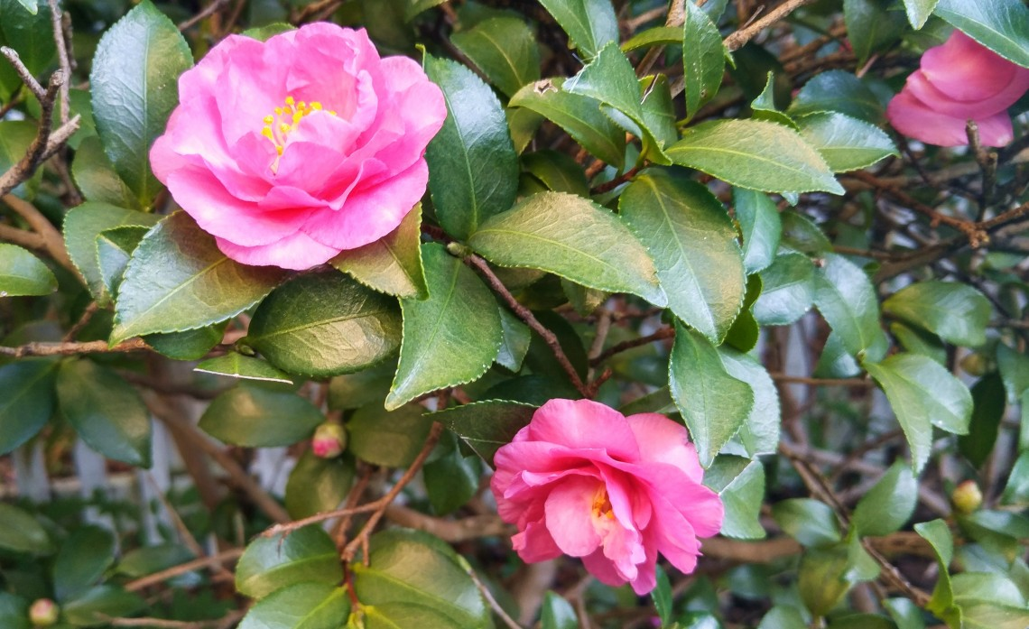 "Fall in Charleston, SC brings another rounding of blooms. The Sasanqua, seen here brightening up the season, is known as the ""Other Camellia."""