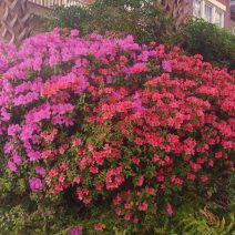 With winter -- such as it was -- receding from memory, colors abound all over Charleston. This grouping of azaleas is just a sample of the riot of color bursting out around the city.
