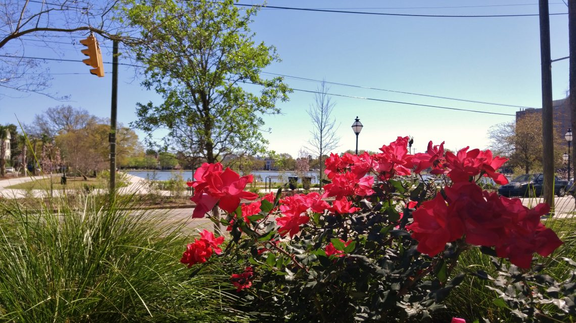 A beautiful flowering plant across from Colonial Lake, on a spectacular Charleston afternoon.