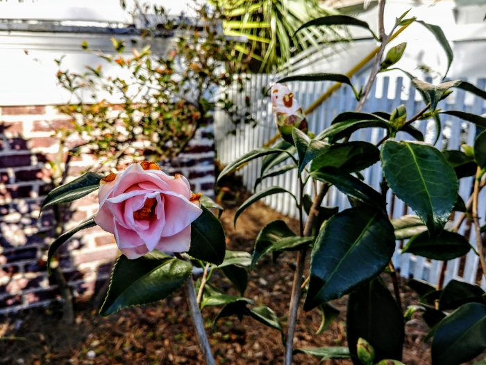 Even with the sub-freezing weather that Charleston has experienced this year, camellias are blooming. The pink blossoms help brighten some of the grey days.