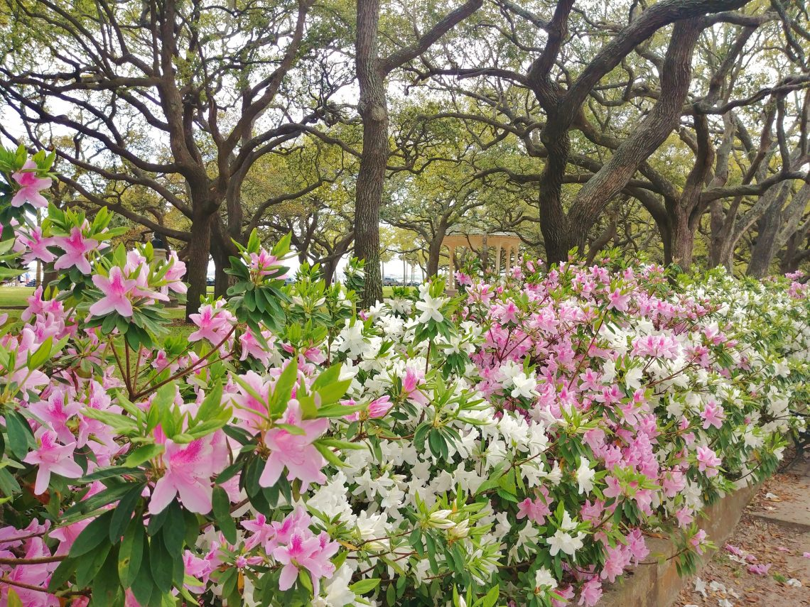 """The beautiful azaleas border the northeast corner of White Point Garden -- right by where the famed pirate, Stede Bonnet, was hanged in 1718. Known as the """"Gentleman Pirate"""" because of he was a landowner and fairly wealthy before turning to piracy, Bonnet allegedly turned to piracy after some marital problems -- despite not having much sailing experience. Perhaps another career path would have been a better choice."""