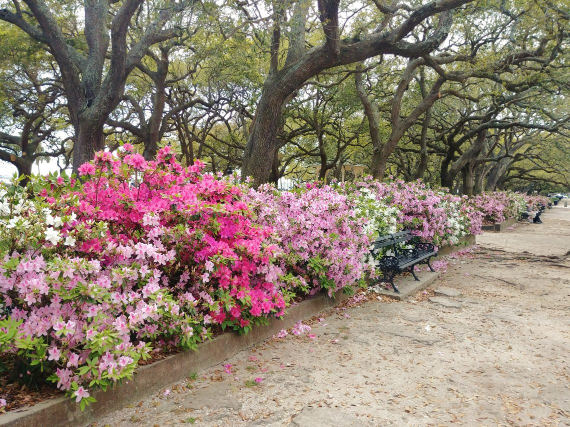 """These beautiful azaleas are on the north side of White Point Garden. Not White Point Gardens. Not Battery Park, White Point Garden -- no """"s."""""""