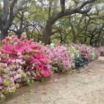 "These beautiful azaleas are on the north side of White Point Garden. Not White Point Gardens. Not Battery Park, White Point Garden -- no ""s."""