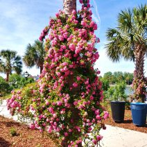 These beautiful roses, climbing up the Palmetto trees on Rutledge Avenue along Colonial Lake, are a wonderful addition planted by the Charleston Parks Conservancy. It sure is a pretty time of year to be out there to enjoy them