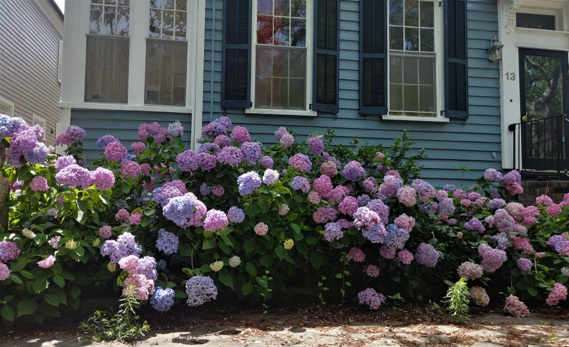 Hydrangeas, which are one of Glimpses favorites, are in bloom all over Charleston. This is a pretty impressive bunch of bushes. One of the very cool things about hydrangeas is that you can manipulate the color of the blossoms by changing the pH levels in the soil. Different levels of acidity cause the plant to generate different colors. Pretty cool.