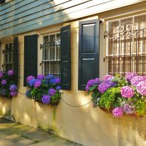 These beautiful window boxes on Legare Street are bursting with hydrangeas. Did you know hydrangeas can be both evergreen and deciduous? The deciduous variety is, however, the more commonly cultivated variety. And now you know...