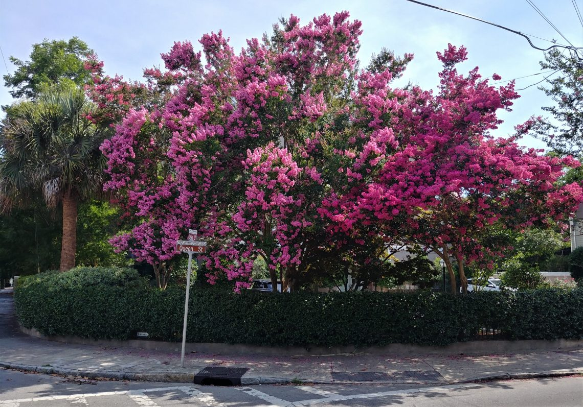 "The crepe myrtle tree is the longest blooming plant in Charleston. That a lot of ""wow."""
