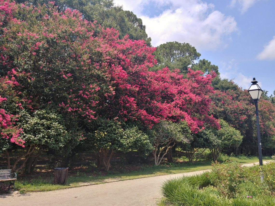 The Crepe Myrtle tree is the longest blooming plant in Charleston. This stand is in Hampton Park, but they are found all over the city -- and the beautiful blossoms come in a variety of colors.