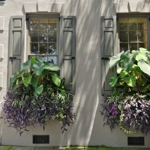 Charleston is proudly full of some amazing window boxes. These, featuring Colocasia --otherwise known as Elephant Ears, for obvious reasons -- can be found on the southeast corner of Tradd and Meeting Streets.