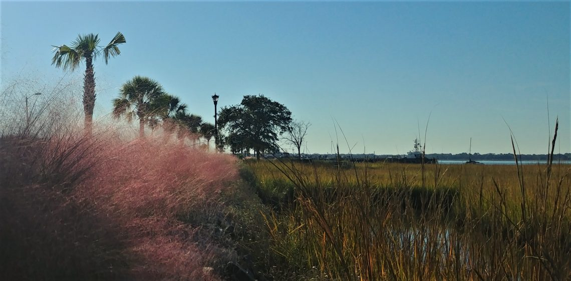 Sweetgrass, which is used to make the famous Charleston Sweetgrass baskets, turns a beautiful purple in the fall.