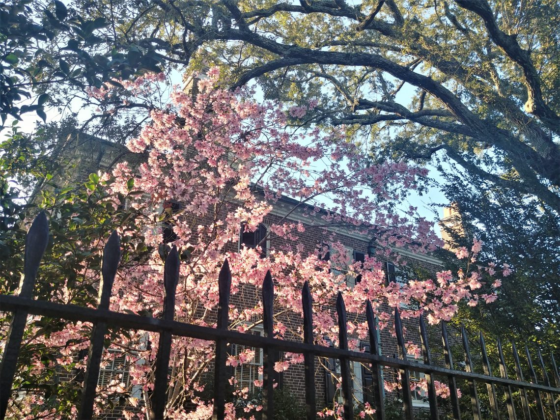 Some beautiful illuminated February blossoms set off by the grand house, a beautiful live oak tree, a wonderful iron fence -- all of which you can find at the corner of Lenwood Boulevard and South Battery.