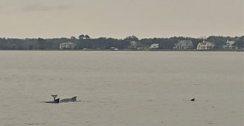 While walking along the Low Battery and the Ashley River, I had the pleasure of watching this pod of bottlenose dolphins put on quite the show -- fully leaping out of the water, twisting, spinning and then waving their tails in the air. No matter how many times you see them, it's always a pleasure to see dolphins.