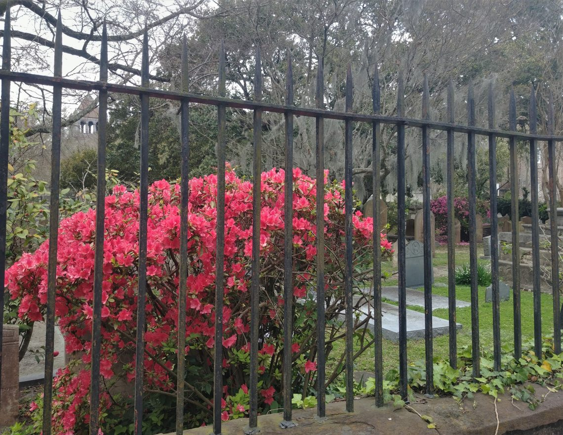 The church graveyards in downtown Charleston are beautiful and fascinating places. The flashes of color shared by early blossoms make the Circular Congregational Church's even more amazing.