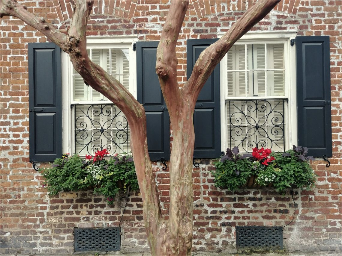 An old crepe myrtle tree against the backdrop of an even older house (built in 1742) on Tradd Street. The crepe myrtle is the longest blooming plant in Charleston.