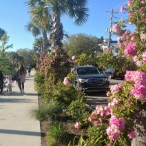 When the park around Colonial Lake was renovated in 2016, a line of palmetto trees was added along Rutledge Avenue. Each has these wonderful flowering plants on their trucks -- happy and beautiful.