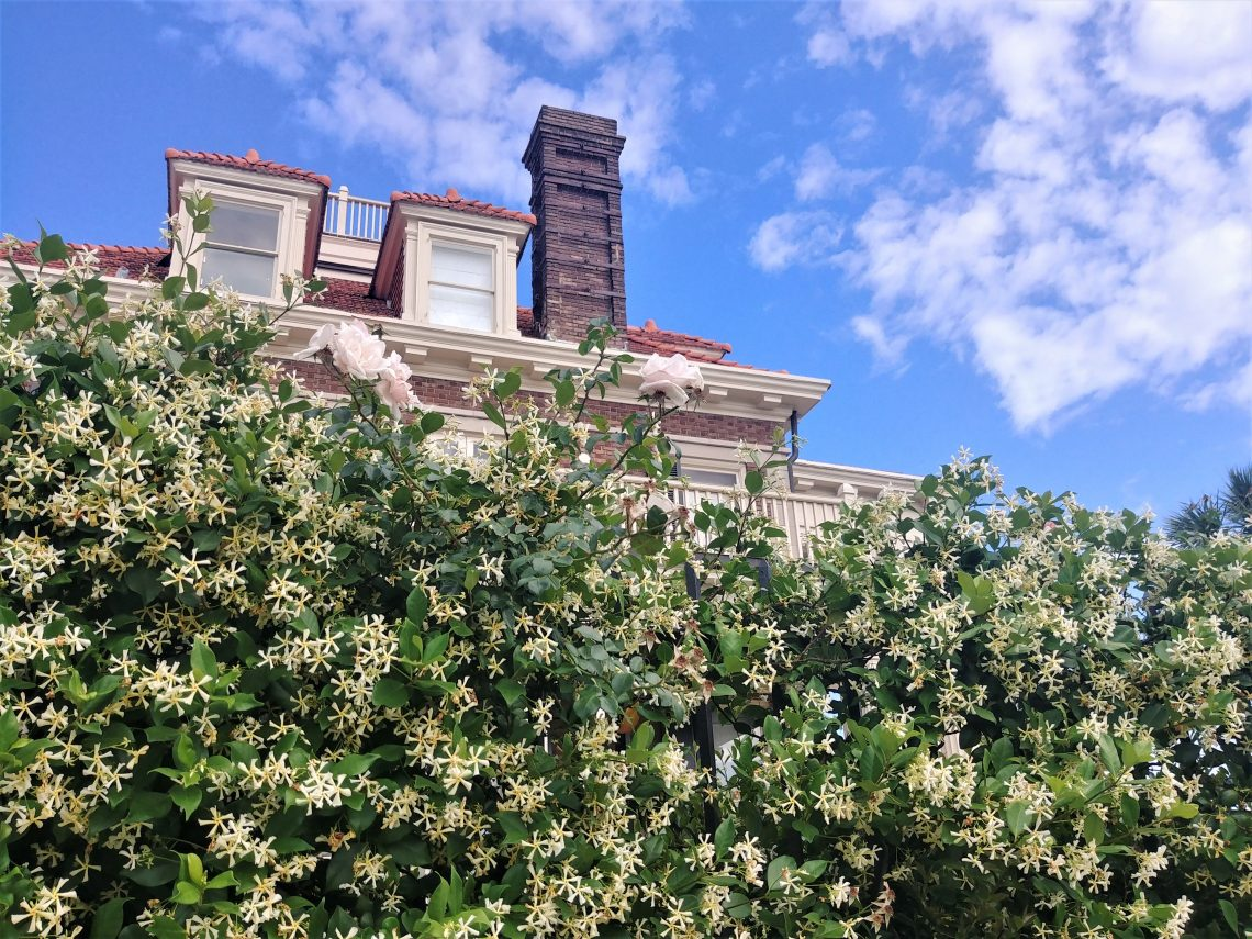 The sweet small in Charleston this time of year primarily comes from the Confederate Jasmine (aka Star Jasmine) which is in bloom all around the city. The photo-bombing roses just add to the sweetness.