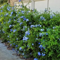 It takes a hardy plant to thrive through the long, hot Charleston summers. Plumbago, with it's pretty blue/purple flowers, thrives all over the city.