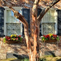 A pretty Charleston autumn scene featuring a crepe myrtle tree on Tradd Street. The crepe myrtle holds the distinction of being the longest flowering plant in Charleston.
