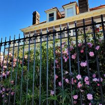 These beautiful camellias are at the C. Bissell Jenkins House on Murray Boulevard.  Jenkins was the originator of the reclamation project that led to the completion of Murray Boulevard and the Low Battery. His house was the first built there.