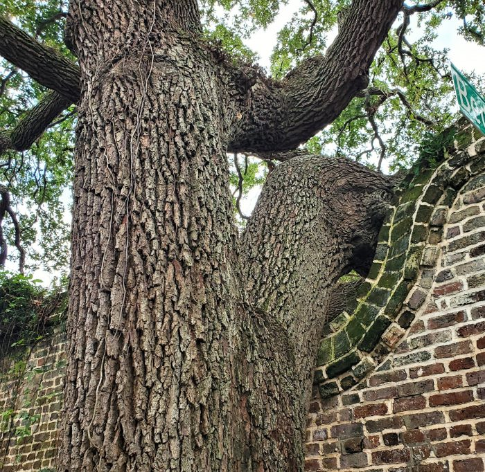 The ruins of an old Evening Post printing plant, at the corner of Elliot Street and Bedons Alley, were adjusted to accommodate this growing tree. Just another cool way Charleston shows its love for its grand trees.