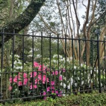 These blooming azaleas are behind the fence at the Bowles-Legare House (c.1797) on Tradd Street. The fence, with its arrowhead pickets and crossed arrow gate, is an eye-catching handsome one.