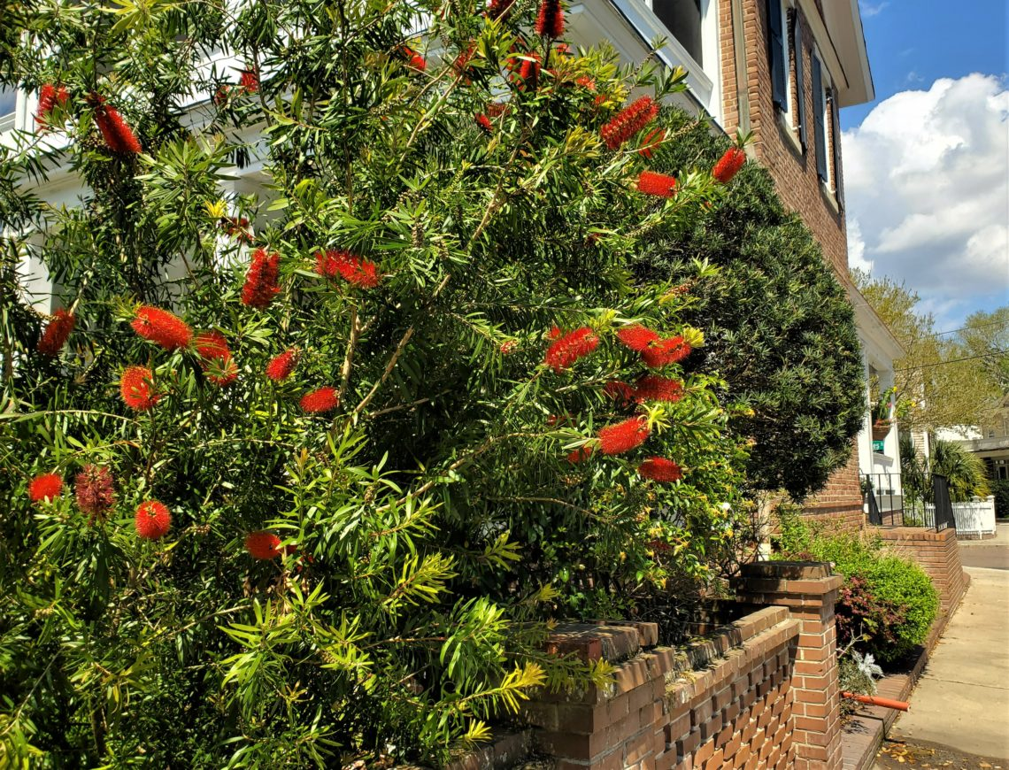 The bottlebrush plant is one of the most eye-catching, and aptly named, plants in Charleston.