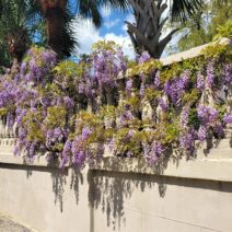 This beautiful wisteria is on the wall of 2 Water Street -- a house  built before 1818 by a merchant who sailed during the Revolutionary War with John Paul Jones on the famous Bon Homme Richard. Interestingly, the ship is named in honor of Benjamin Franklin. Richard was a  pseudonym used by Franklin  (think Poor Richard's Almanac).