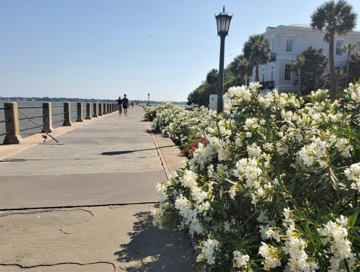Oleander is in full bloom all over Charleston. Just beautiful, but be careful around it... as they are also toxic.