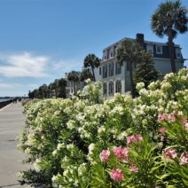 The the oleander along the High Battery is looking beautiful this year. As pretty as it is, it is also poisonous. Legend has it that during the Civil War it was used to brew poisonous tea which was then served to Union soldiers — and drinking it could be fatal.